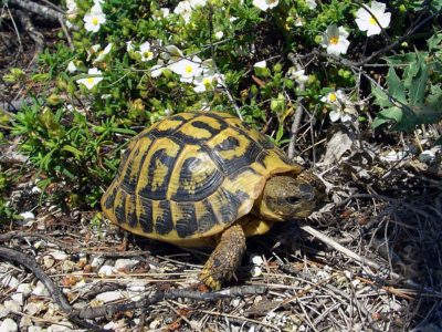 Hermann Turtles in the South of France