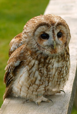 Tawny owl in France forests
