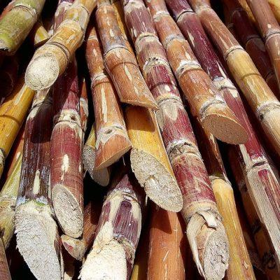 Sugar cane at the campsite