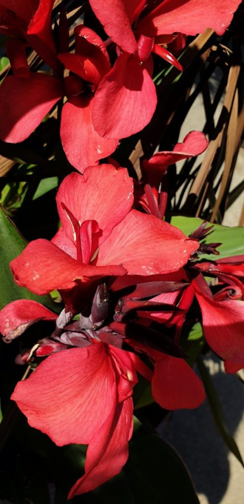 Canna Lily (Heliconia)
