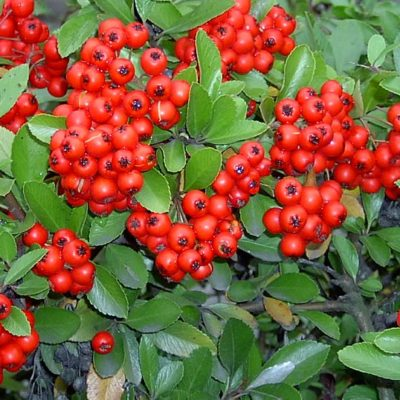 Firethorn (Pyracantha) at the campsite in the Provence