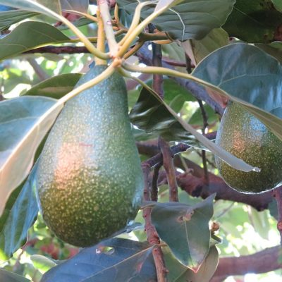 Avocado tree at the campsite